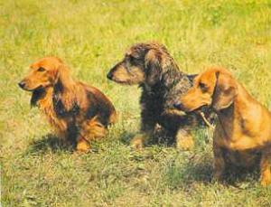 Пороки охотничьих собак