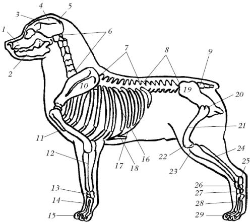 Скелет собаки: 1 – верхняя